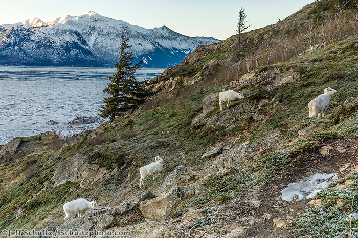Dall Sheep ewes & lambs feed on grass at Windy Corner area south of Anchorage, Alaska in winter. Chugach Mountains and Chugach State Park. Turnagain Arm ice floes and Kenai Mountains in the background.  Southcentral, Alaska<br /> <br /> Photo by Jeff Schultz/SchultzPhoto.com  (C) 2018  ALL RIGHTS RESERVED