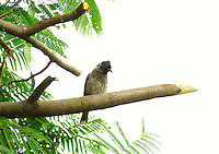 Stock photo: Bulbul sitting on a tree branch