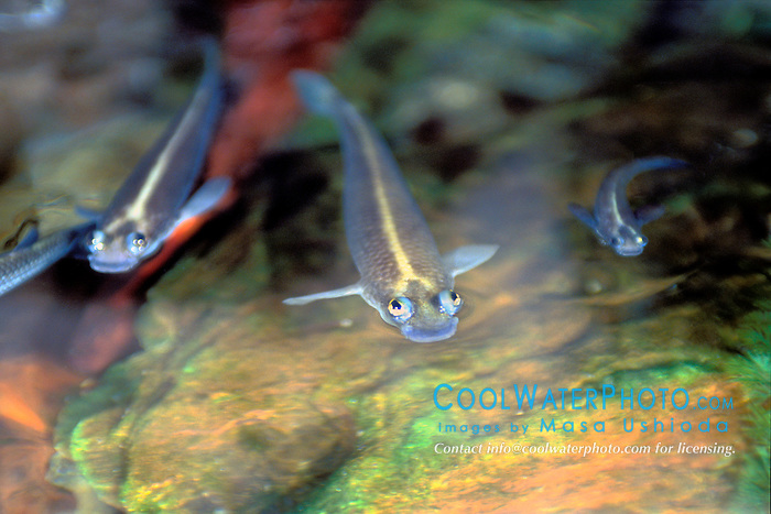 foureyed fish, largescale or striped foureyes, Anableps anableps, freshwater, tropical South America (c)