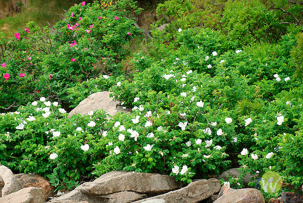 Multi flora wild roses on Maine coast. Acadia National Park.