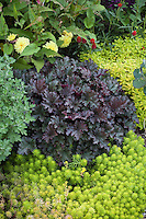 Mixed foliage colors of Sedum 'Angelina', purple Heuchera, 'Aztec Gold' Veronica, dahlia,  in summer garden