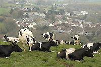 Lynher Holsteins grazing near the village of Rillamill.