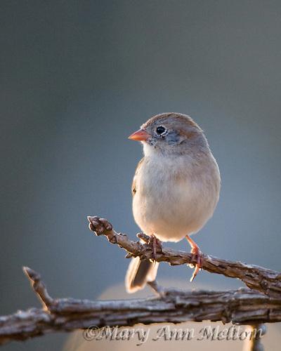 A  Field Sparrow, Spizella pusilla   perches above a suet feeder in my front yard, Hutto, Texas.