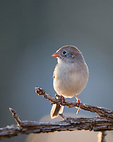 A  Field Sparrow, Spizella pusilla   perches above a suet feeder in my front yard, Hutto, Texas.