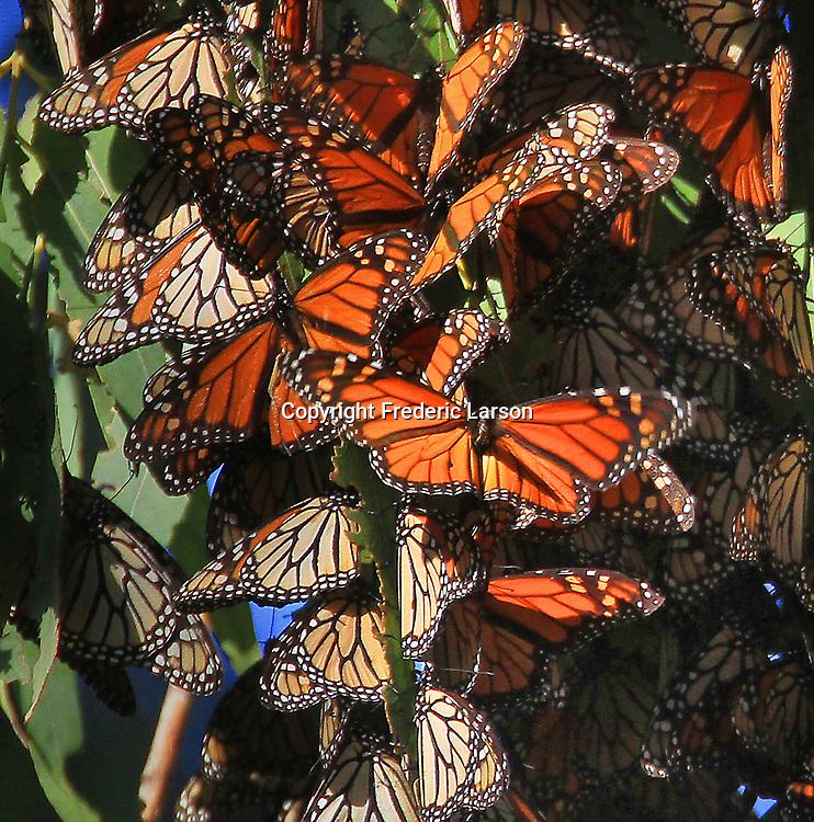 Monarchs buttlerflys cluster in Fremont California