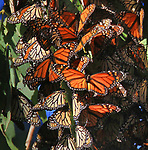 Monarchs buttlerflys cluster in Fremont California