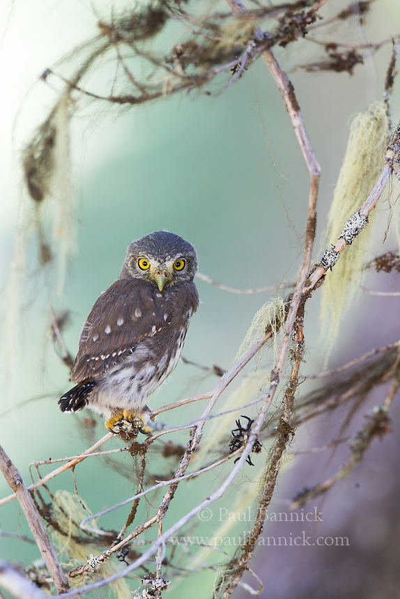 A Northern Pygmy-Owl fledgling lands in swirl of branches after one of its first flights. (Oregon)