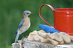Female eastern bluebird perched next to gardening tools