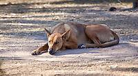 Dingo, Jabiru Camp, Kakadu NP, NT, Australia