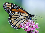 A monarch butterfly feeds on milkweed flowers.