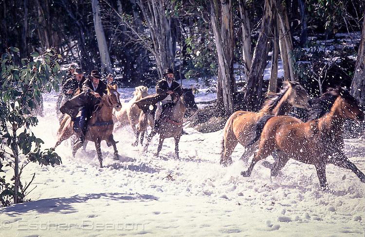 Mountain Cattlemen, or stockmen, chasing wild horses through snow. Near Mt Buller, Snowy Mountains, Victoria.