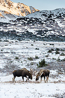 Bull moose in Chugach Mountains in Chugach State Park. Glenn Alps area of Anchorage, Alaska   November 2016<br /> <br /> Photo by Jeff Schultz/SchultzPhoto.com  (C) 2016  ALL RIGHTS RESVERVED