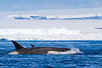 killer whale or orca, Orcinus orca, Type B orca, hunting in pack ice, Snow Hill Island, Antarctica, Weddell Sea, Southern Ocean