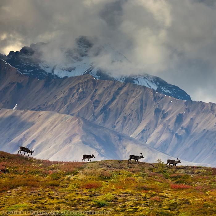 Bull caribou running across a mountain ridge in the Alaska Range mountains, Denali National Park, Interior, Alaska.