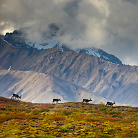 Bull caribou running across a mountain ridge in the Alaska Range mountains, Denali National Park, Interior, Alaska.