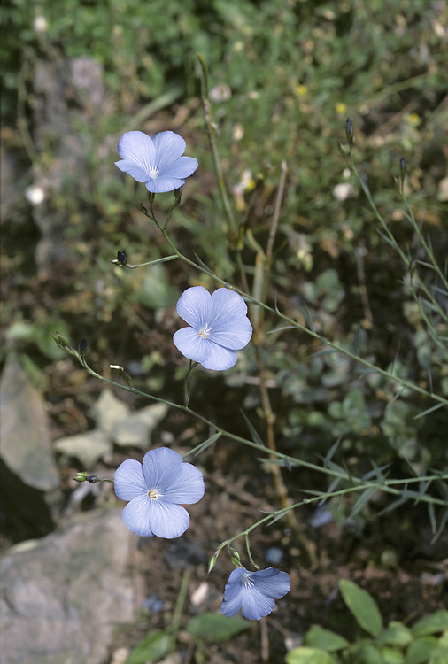 PERENNIAL FLAX Linum perenne (Linaceae). Height to 60cm<br /> Slender, spreading and hairless perennial with wiry stems. Found in dry grassland on calcareous soils. FLOWERS are 20-25mm across and lilac blue; borne in open clusters (Jun-Jul). FRUITS are globular. LEAVES are narrow, 1-veined and greyish green. STATUS-Extremely local in E and N England, on chalk or limestone.