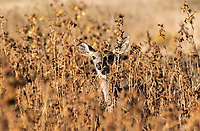 Black-tailed Deer, Odocoileus hemionus, in Sacramento National Wildlife Refuge, California