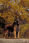 Belgian Tervuren<br />