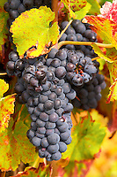 Bunches of ripe grapes. Vine leaf. Pinot noir. Corton Grand Cru. Aloxe Corton, Cote de Beaune, d'Or, Burgundy, France