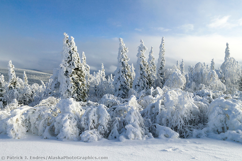Snow loaded spruce trees high on a ridge in Alaska's interior