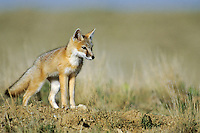 Swift Fox Kit