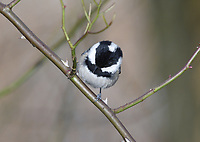 Coal Tit - Parus ater<br /> subspecies ater, mainland Europe