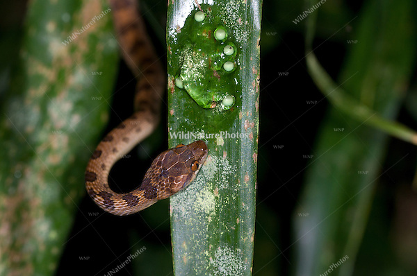 Northern Cat-eyed Snake (Leptodeira septentrionalis) feeding on the eggs of the Red-eyed Tree Frog (Agalychnis callidryas), Bocas del Toro, Colon Island, Panama