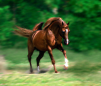 Arabian stallion in motion.