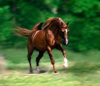 Arabian stallion in motion.