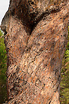 Israel, Galilee. The trunk of a Stone Pine (Pinus Pinea) in the Bahai Garden near Acco