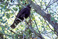 Zone-tailed Hawk - Buteo albonotatus