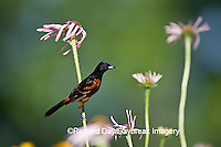 01618-009.17 Orchard Oriole (Icterus spurius) male on Pale Purple Coneflower (Echinacea pallida) in flower garden Marion Co. IL