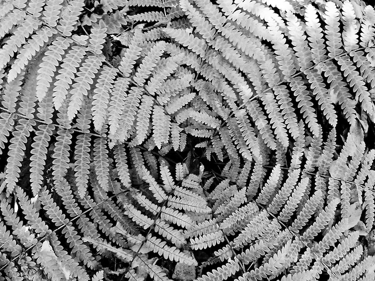 An Interrupted Fern (Osmunda Claytoniana) grows in rich, mesic woods and open woods in a symmetrial clump as this fisheye lens view shows with it's Fall colors in black & white rendering.