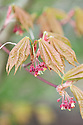 Japanese maple (Acer palmatum 'Osakazuki'), new foliage and flowers, early April.
