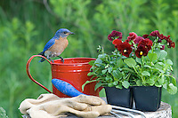 Male eastern bluebird perched on watering can