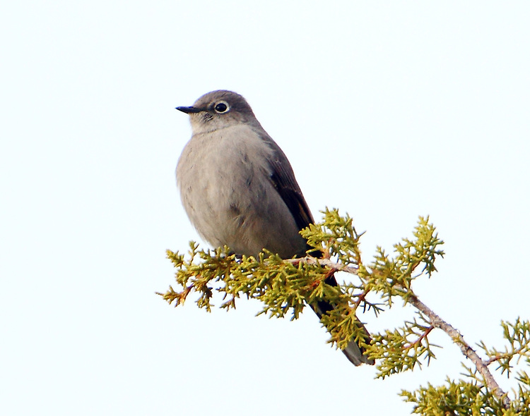 Townsend's solitaire. This sequence was taken on Dec 12,2013 at a location 10 miles south of Alpine, TX.