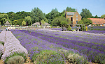 Lavender plants at Norfolk Lavender garden centre attraction, Heacham, Norfolk, England