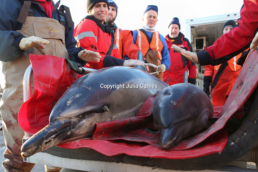 """A mother and calf common dolphin are transported to the beach by a team from the International Fund for Animal Welfare (IFAW) and the New England Aquarium before being released back into Cape Cod Bay at Scusset Beach in Sagamore Beach, MA.  The dolphins are two of at an estimated 30 dolphins that stranded along Cape Cod Bay's shores from Dennis to Wellfleet.  11 dolphins were successfully released back into the bay.  """"This might be the largest dolphin stranding geographically speaking that we've had,"""" says Brian Sharp, IFAW's stranding coordinator."""