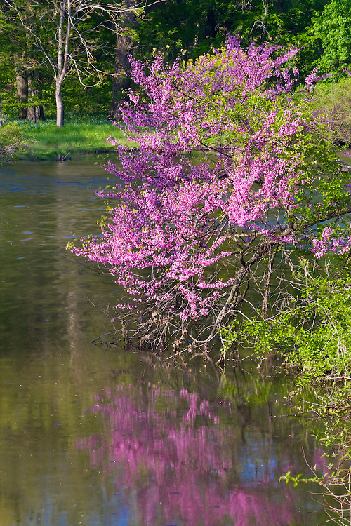 Evening light on a Redbud tree in bloom on Lake Marmo at The Morton Arboretum; Lisle ,IL