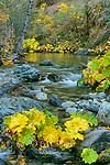 Indian Rhubarb, Darmera Peralta, Lavezzola Creek, Tahoe National Forest, California