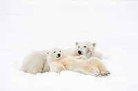 Polar bear sow and cub relax in the snow on an island in the Beaufort Sea, Arctic, Alaska.