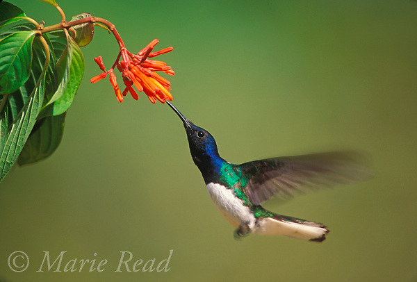 White-necked Jacobin (Florisuga mellivora), male hovering to feed from flower, Gamboa, Panama<br /> Slide # B97-24