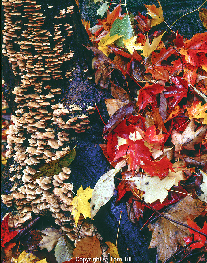"""Autumn leaves and bracken fungi, Schooley's  Mountain Park,  New Jersey Fragment of """"Great American Forest"""""""