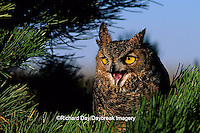 01116-037.07 Great Horned Owl (Bubo virginianus) in pine tree    CO