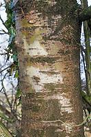 Zitterpappel, Zitter-Pappel, Pappel, Espe, Rinde, Stamm, Borke, Populus tremula, Aspen, bark, rind
