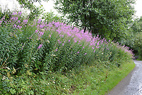 Rose-bay Willowherb (Epilobium angustifolium) on a country lane, Chipping, Lancashire.