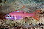 Apogon maculatus, Flamefish, Bonaire