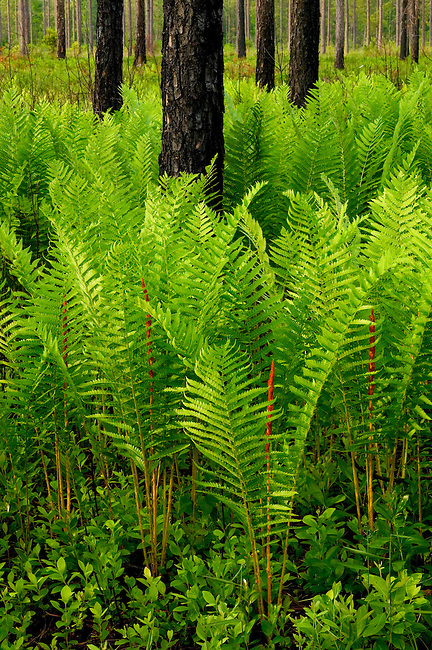 Spring ferns in a longleaf pine savanna