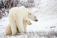 01874-109.16 Polar Bears (Ursus maritimus) female & 2 cubs near Hudson Bay, Churchill  MB, Canada