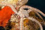 Long-arm Brittle Star (Ophionereis porrecta), Hawaii, USA.